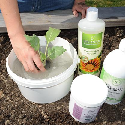 Tauchbad mit EM für Jungpflanzen